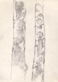 Birches-close-up-pencil-study