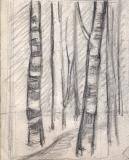 Silver-Birch-Trees-2